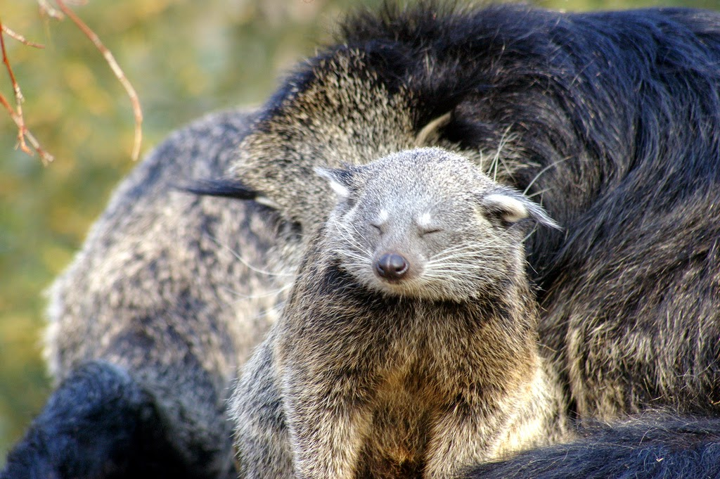A young binturong (also known as bearcat) yawning with closed eyes