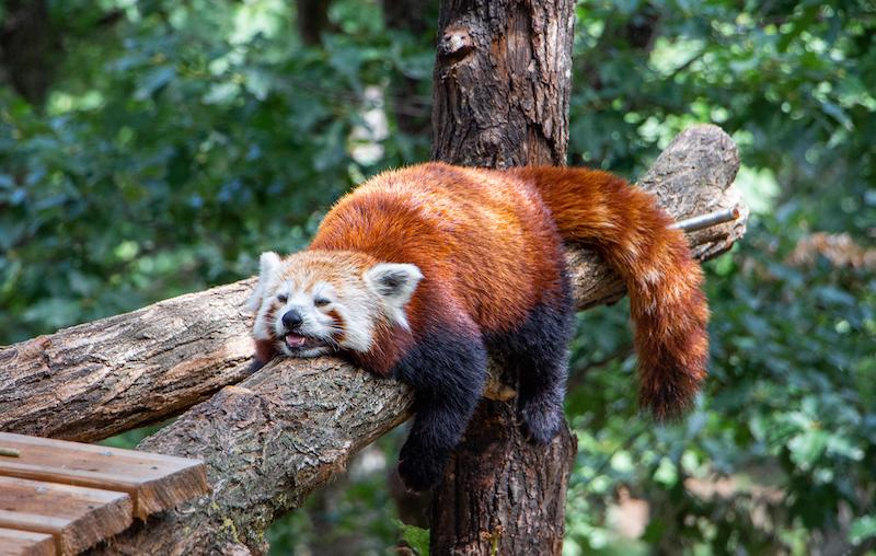A tired red panda laying down on a branch
