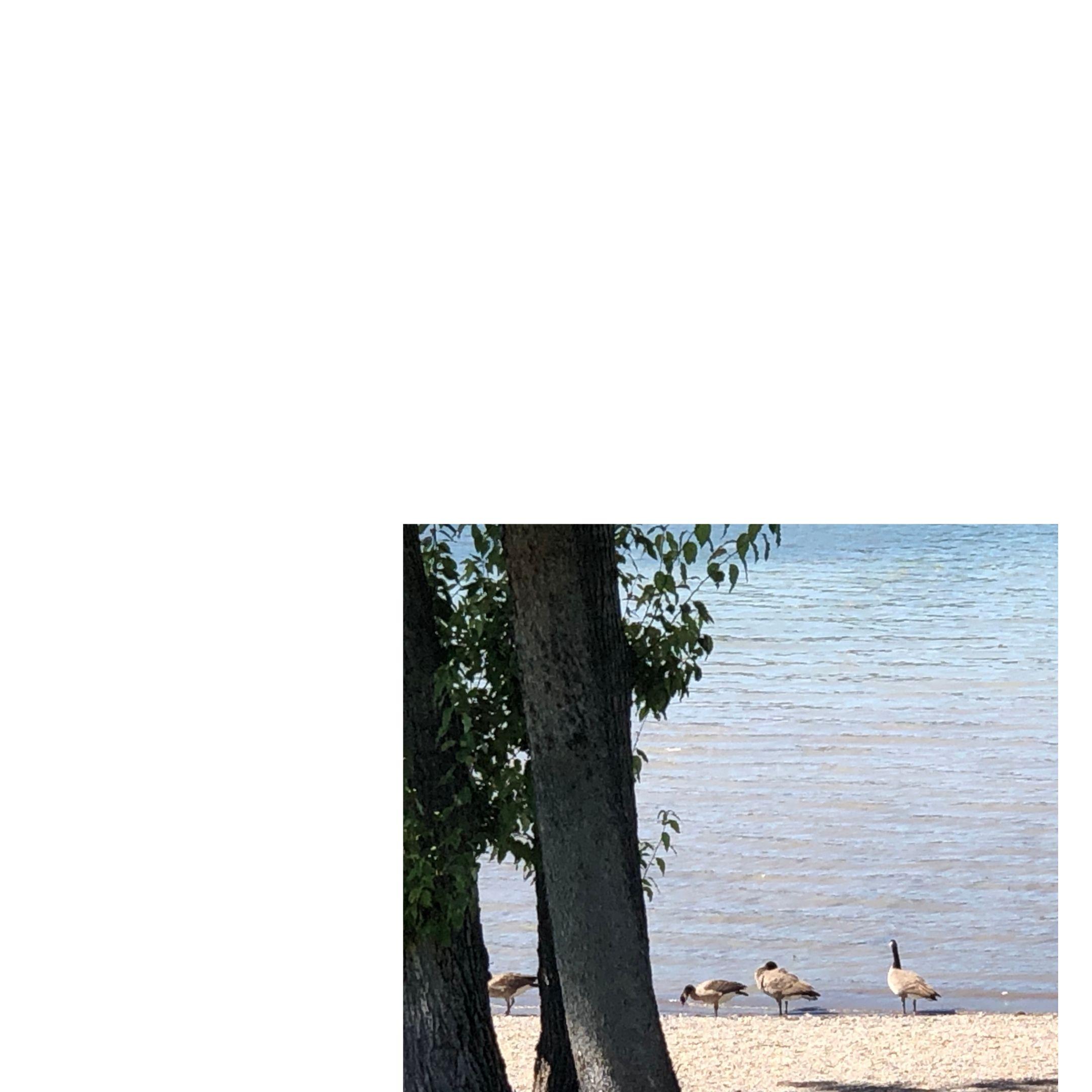 geese on a lake beach