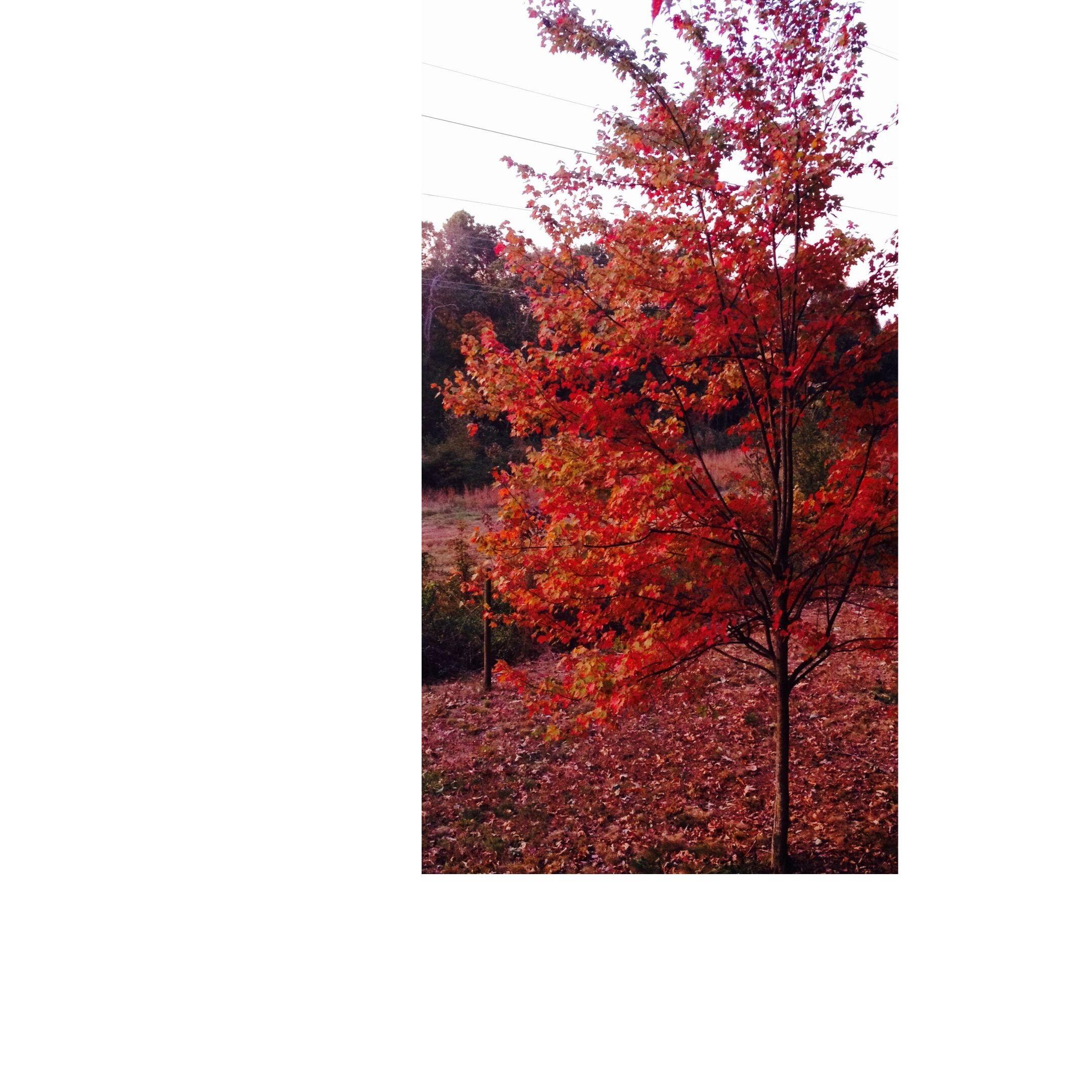 tree in full fall vestment