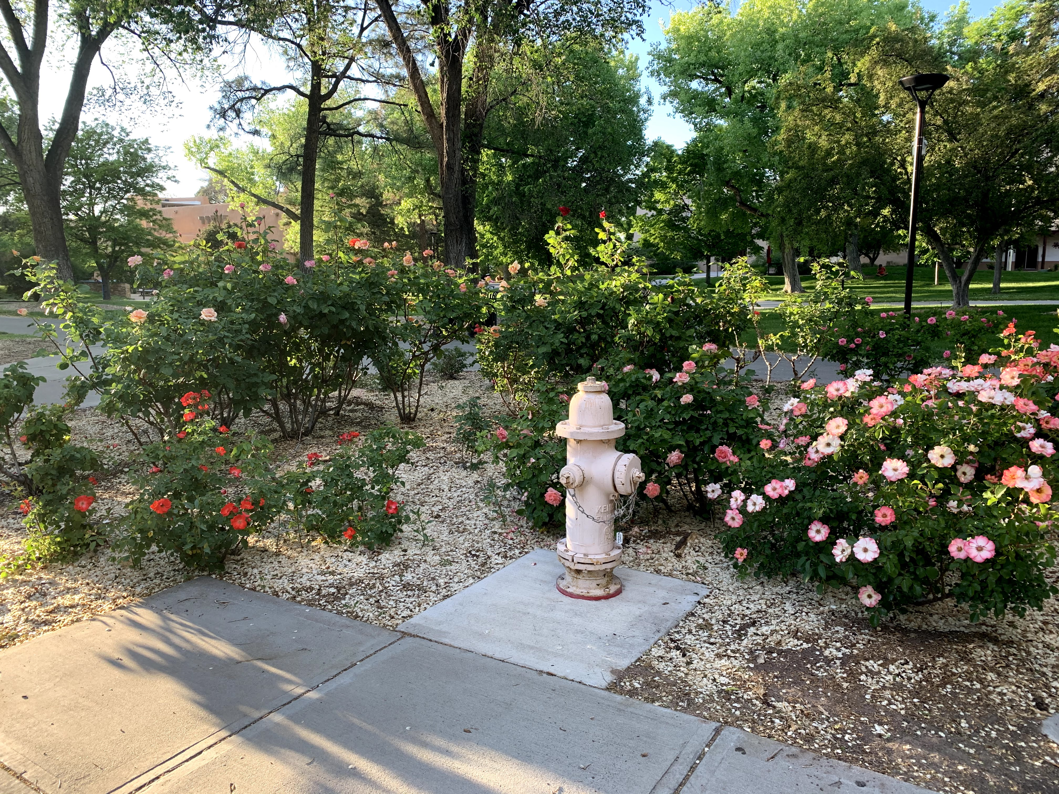 a fire hydrant amidst rose bushes