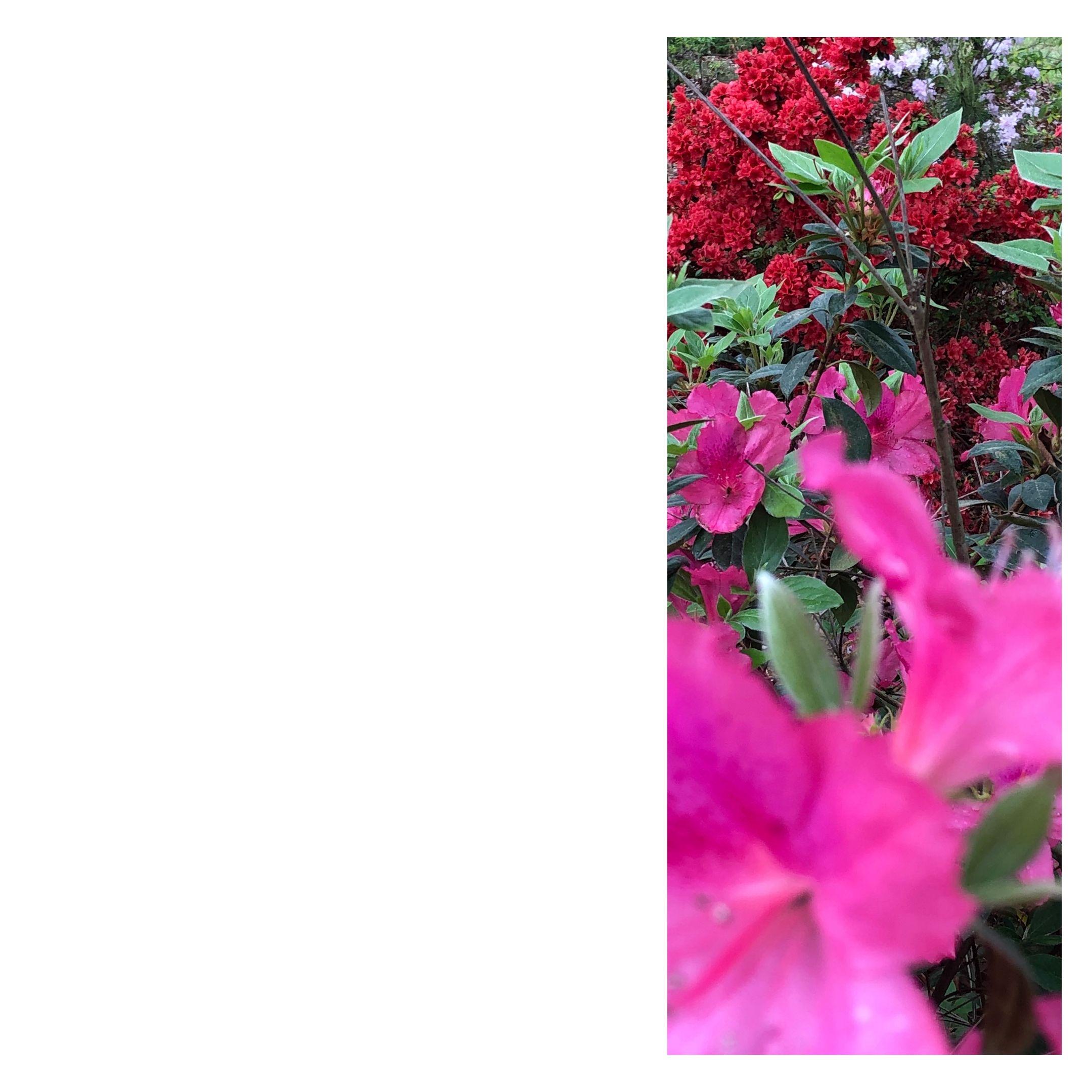 azaleas: three hues
