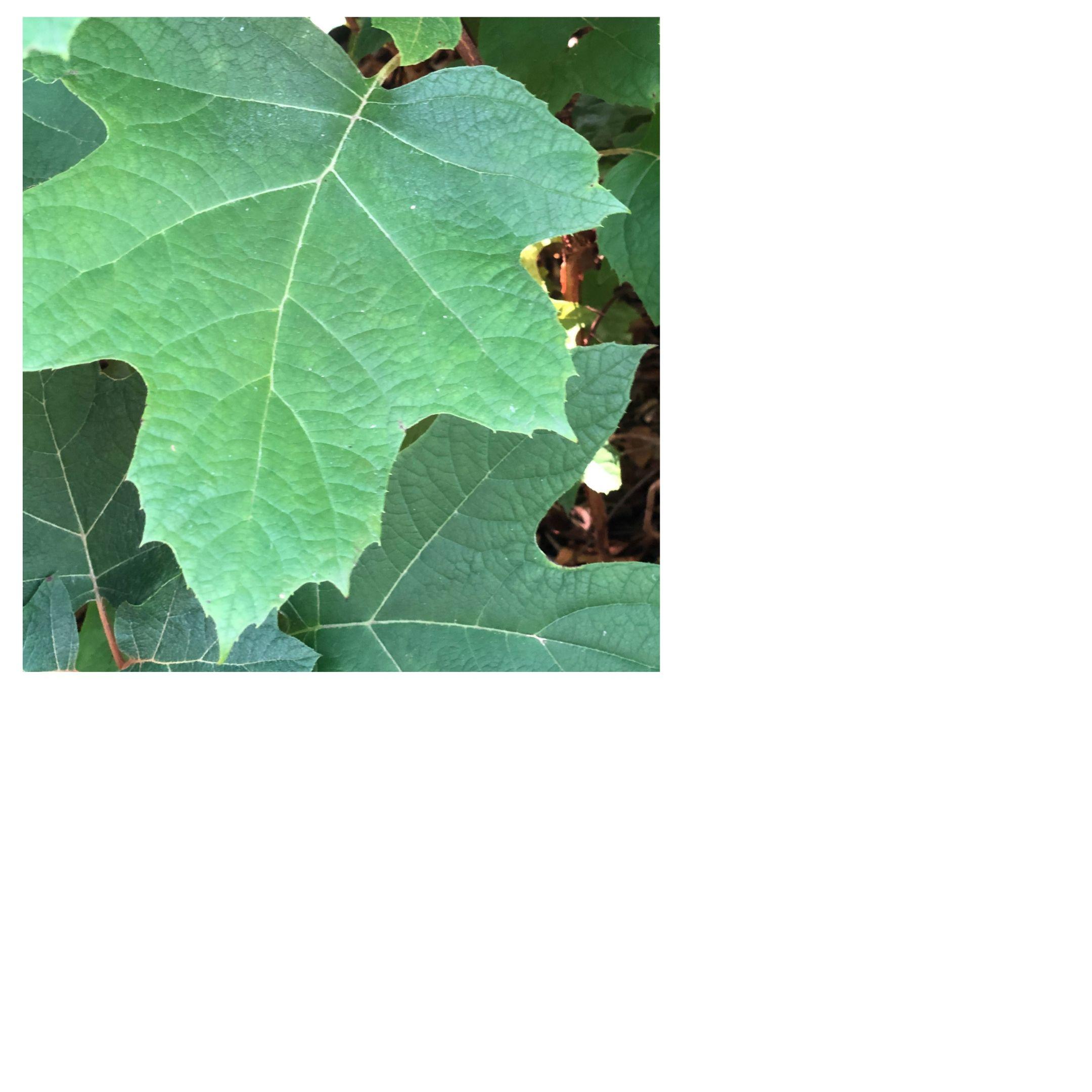five fronded leaf