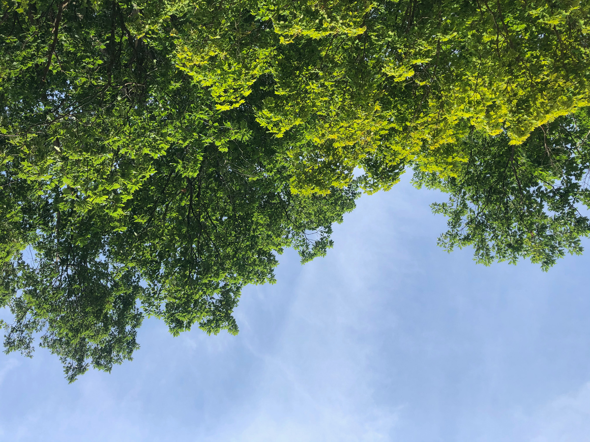 Looking up at beach trees.