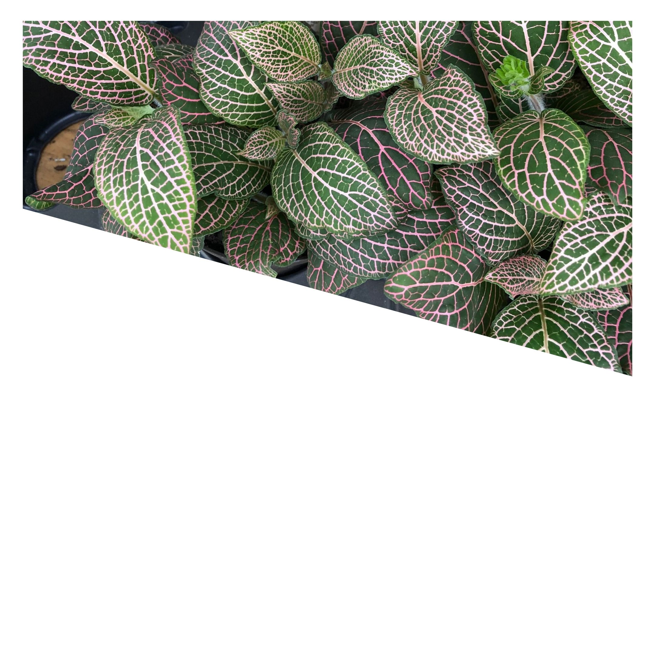 variegated leaves