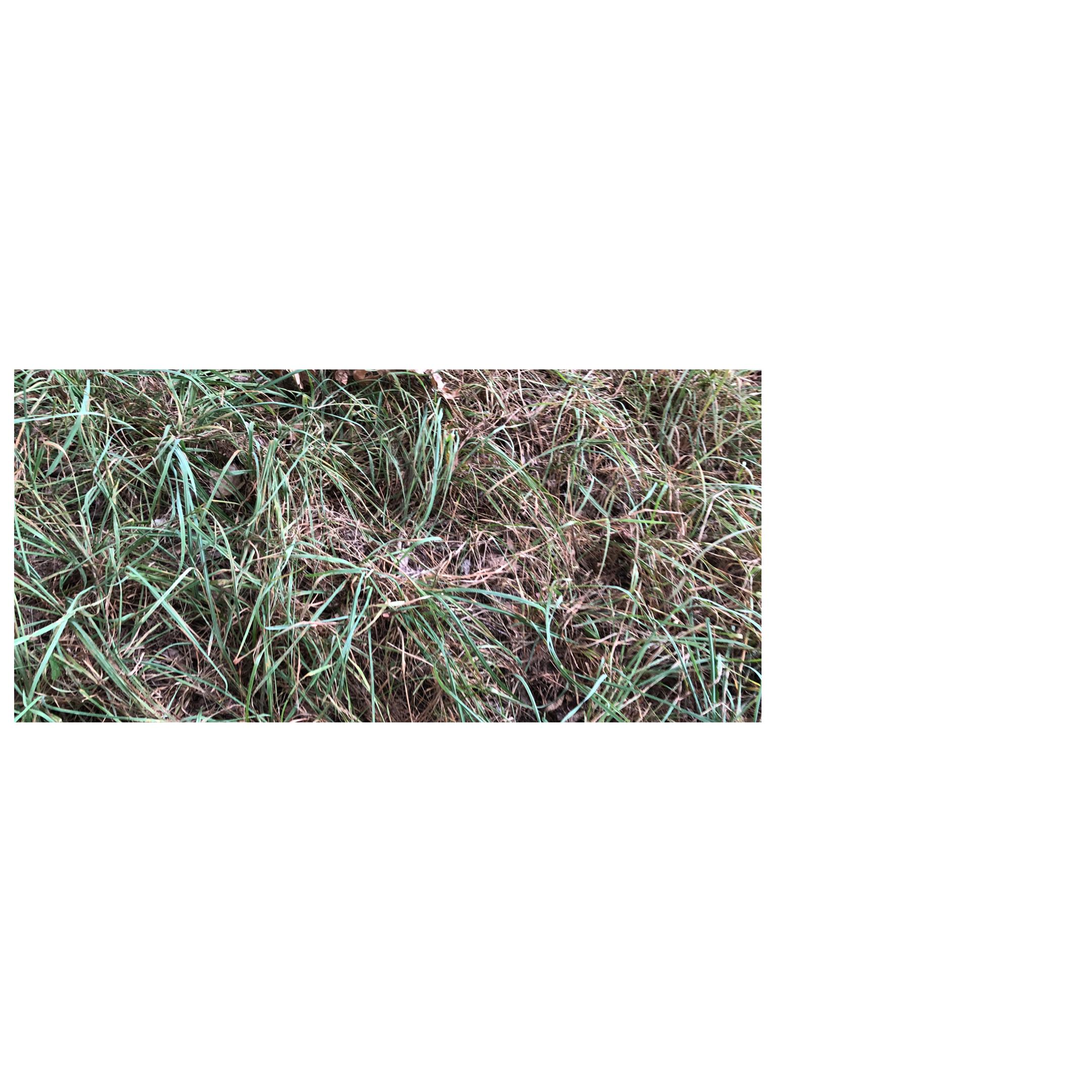 wilting overgrown grass