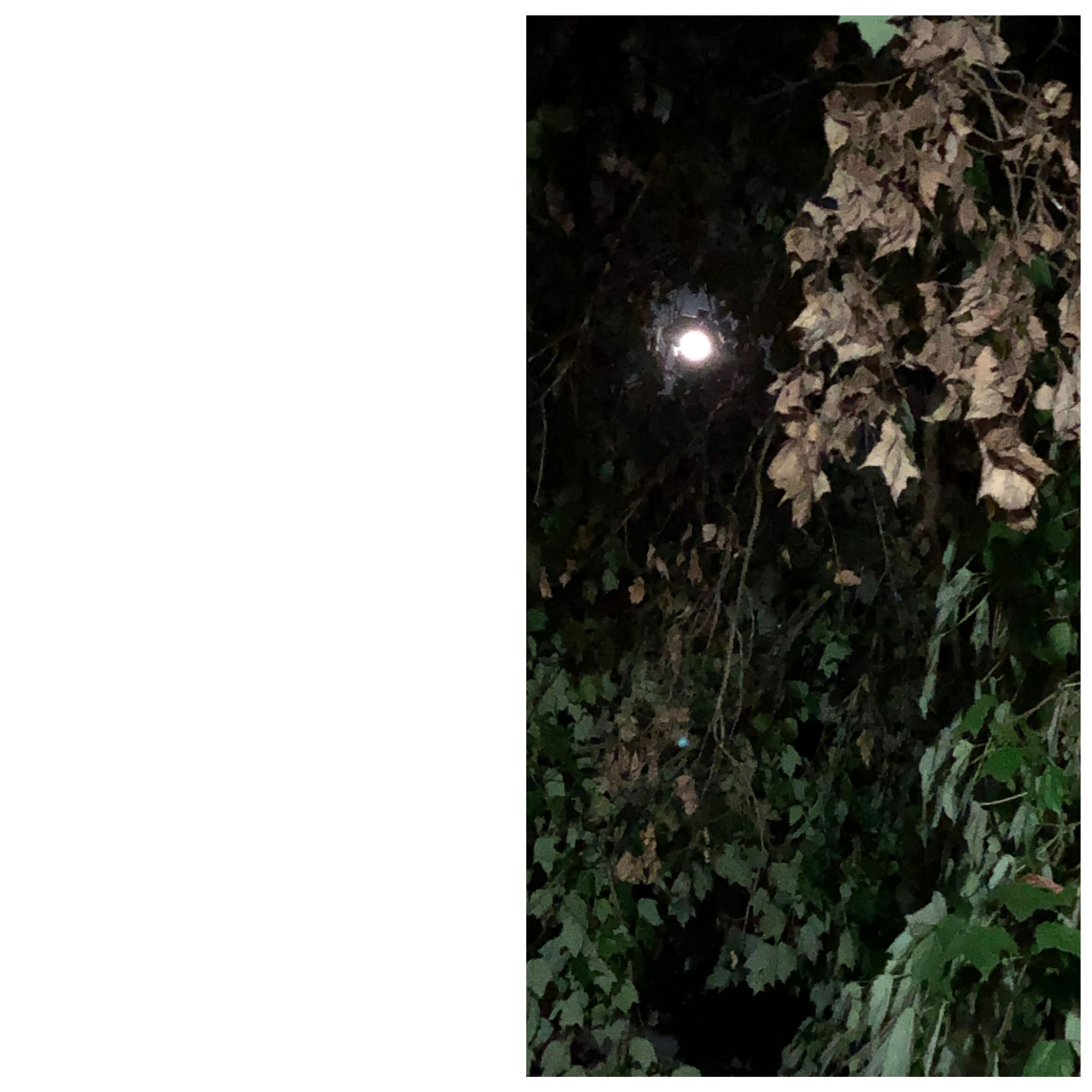 moon through the leaves