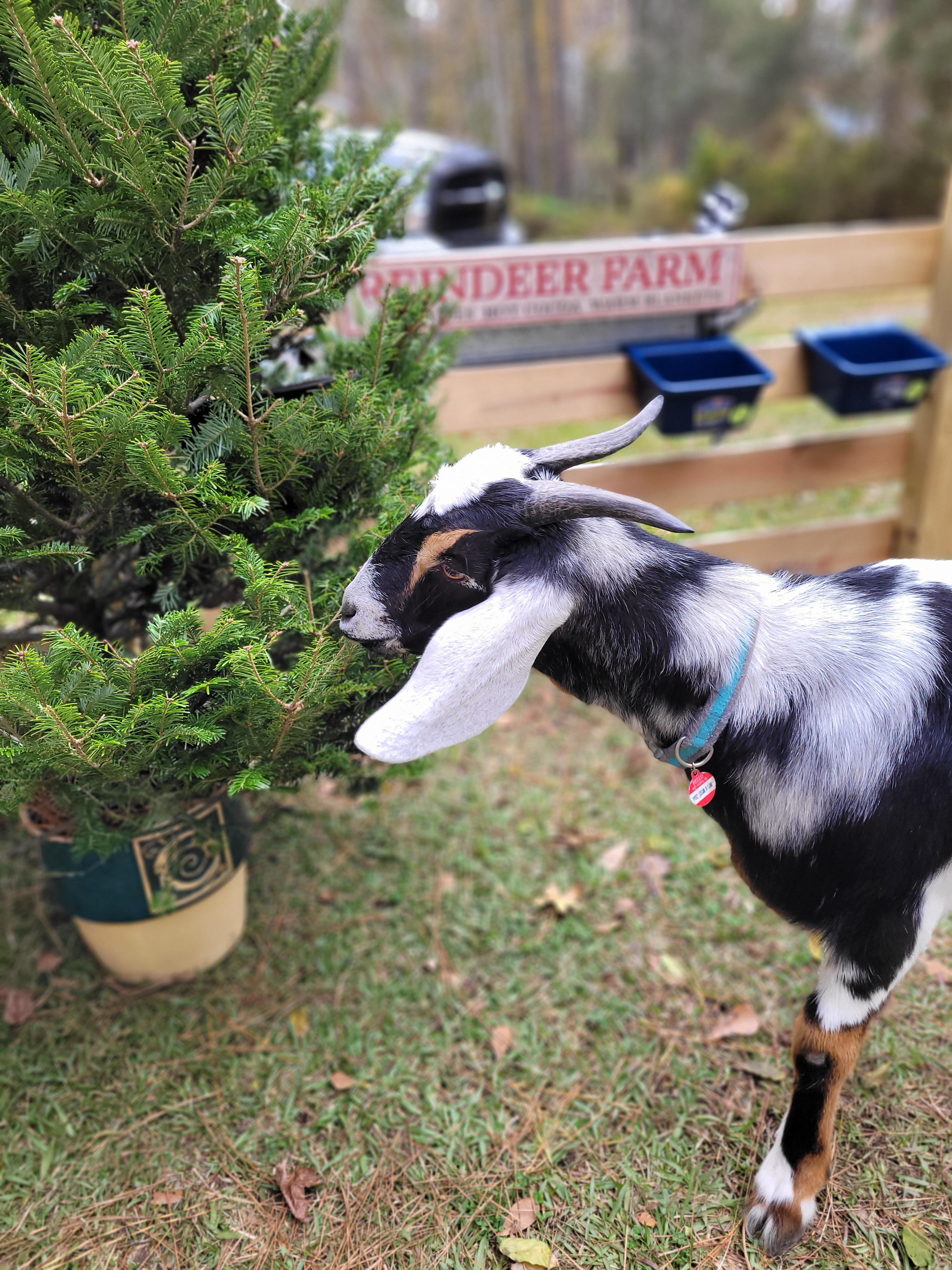 A goat is munching on the leaves of a potted Christmas tree